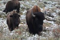 Bisons - Parc du Yellowstone