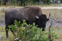 Bison - Parc de Yellowstone