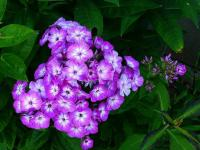 Phlox. - Le Cannet 06110 - Cannes