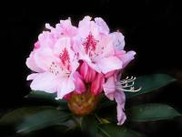 Rhododendron (Albert Schweitzer) 1. - Le Cannet 06110 - Cannes