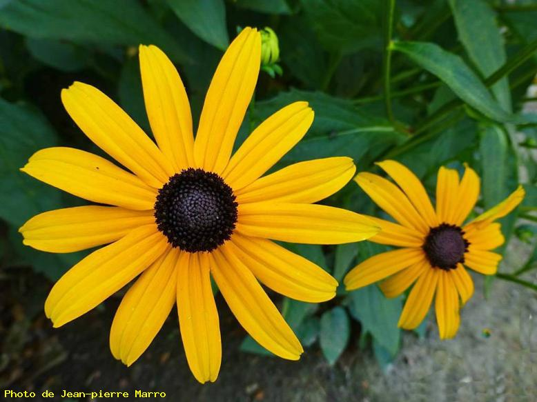 ZOOM : Rudbeckia. - Le cannet 06110 - cannes