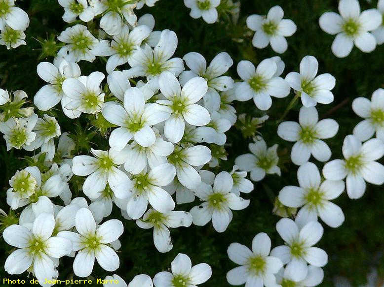 ZOOM : Saxifraga. - Le cannet 06110 - cannes