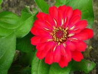 Zinnia (8) - Le Cannet 06110 - Cannes