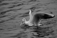Mouette rieuse - Metz